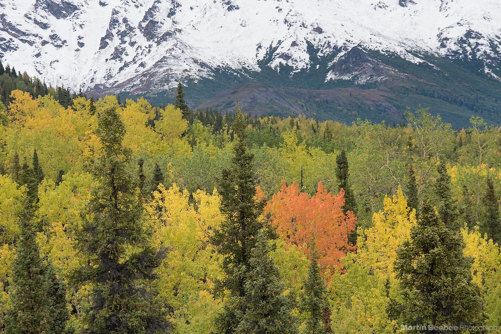 Snow-covered mountains above autumn aspen forest, fall, Denali National Park, Alaska