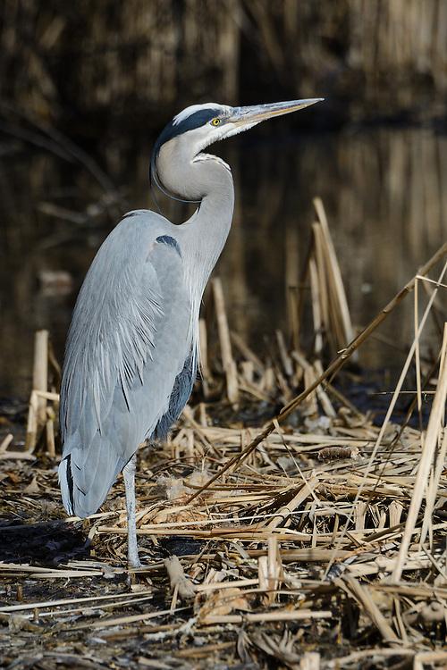 Great Blue Heron at Twin Lakes, Boulder County, Colorado