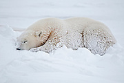 Polar bear Ursus maritimus lying on frozen tundra<br /> Churchill<br /> Manitoba<br /> Canada