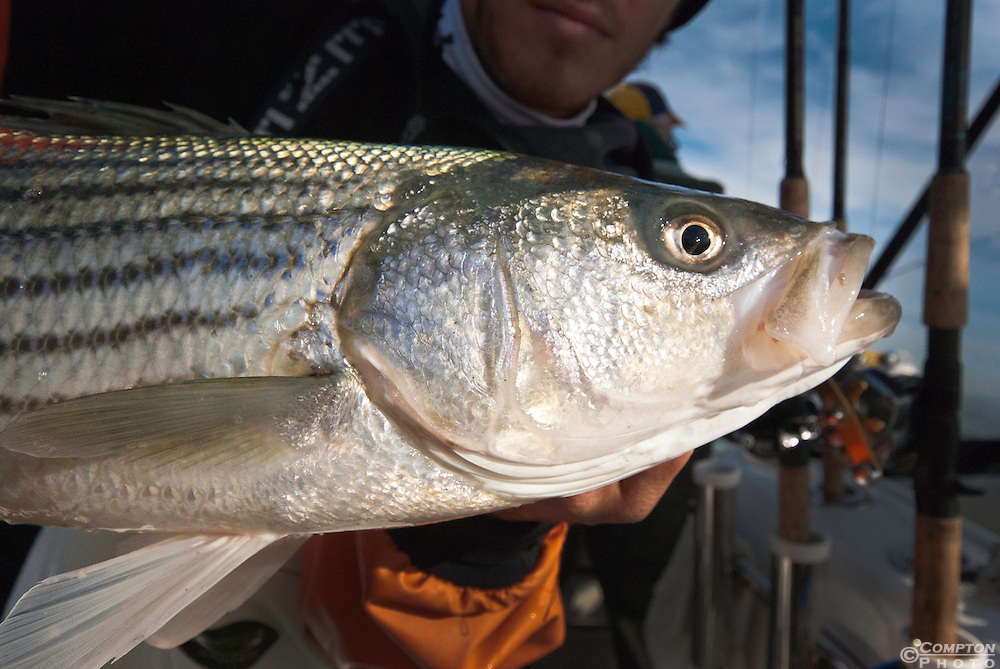 Striped Bass (Morone saxatilis)
