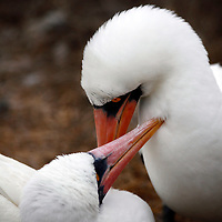 South America, Ecuador, Galapagos Islands. Nazca Boobies mating and courtship rituals.