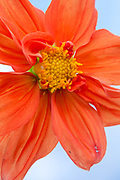 Dahlia 'Bishop of Oxford' - miscellaneous dahlia group