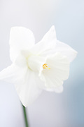 Narcissus 'Empress of Ireland' - large-flowered trumpet daffodil