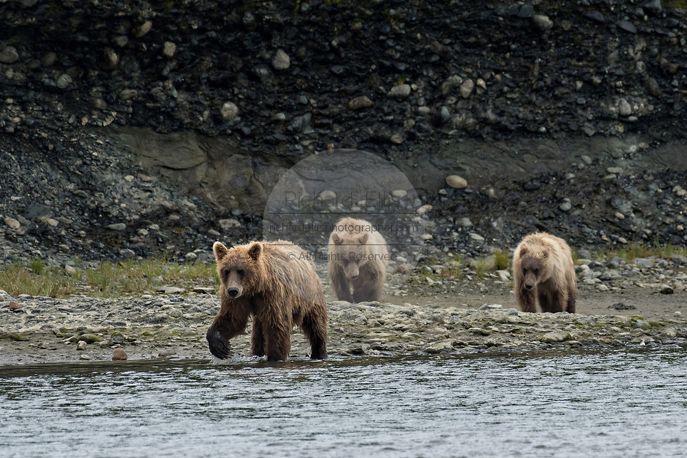 A brown bear cow and her two yearling cubs walk along the shore of the lower lagoon at the McNeil River State Game Sanctuary on the Kenai Peninsula, Alaska. The remote site is accessed only with a special permit and is the world's largest seasonal population of brown bears in their natural environment.