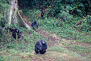 A few of the 48 chimpanzees in the Ngamba Island Chimpanzee Sanctuary in Lake Victoria, Uganda.  03/15 Julia Cumes/IFAW