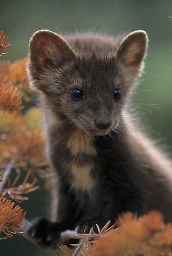 Pine Marten, (Martes americana)  Young in Douglas fir tree. Montana. Captive Animal.