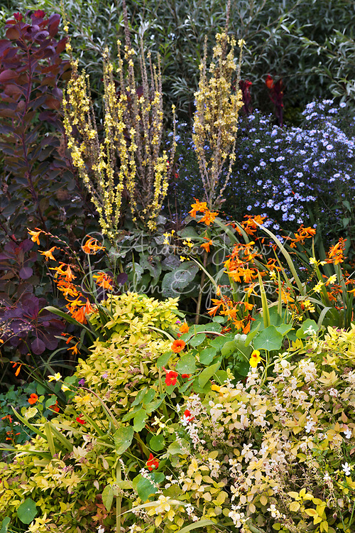 Late summer planting in the Long Border at Great Dixter, East Sussex, England. Planting includes Tropaeolum majus, Crocosmia, Aster, Cotinus coggygria, Spire, Origanum and Verbascum 'Christo's Yellow Lightning'