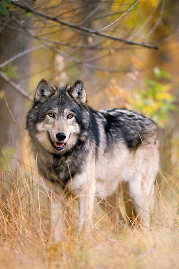 Gray Wolf, (Canis lupus) Adult. Fall. Rocky mountains. Montana. Captive Animal.