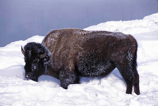 Bison, (Bison bison) Yellowstone National Park. Foraging for food. Winter.