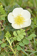 BURNET ROSE Rosa pimpinellifolia (Rosaceae) Height to 50cm. Clump-forming shrub with suckers and stems that bear numerous straight thorns and stiff bristles. Associated mainly with sand dunes, calcareous grasslands, limestone pavements and heaths. FLOWERS are 3-5cm across with 5 creamy white petals; usually solitary (May-Jul). FRUITS are spherical, 5-6mm across and purplish black when ripe. LEAVES comprise 7-11 oval leaflets. STATUS-Widespread but only locally common.