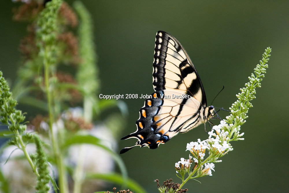 Eastern Tiger Swallowtail Butterfly with wings folded on white lilac flower, Papilio glaucus