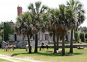 Wild, Cumberland Island horses grazing in front of the ruins of one of the several plantations on the island.