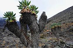 19-10-2008 REPORTAGE: KILIMANJARO CHALLENGE 2008: TANZANIA <br /> Van kamp New Shira (3847m), via Lava Tower (4642m) naar kamp Barranco op 3985 meter. De Kilimanjaro Challenge van de BvdGf.<br /> ©2008-FotoHoogendoorn.nl