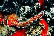 UNDERWATER MARINE LIFE CARIBBEAN, generic Fire worm Hermodice carunculata
