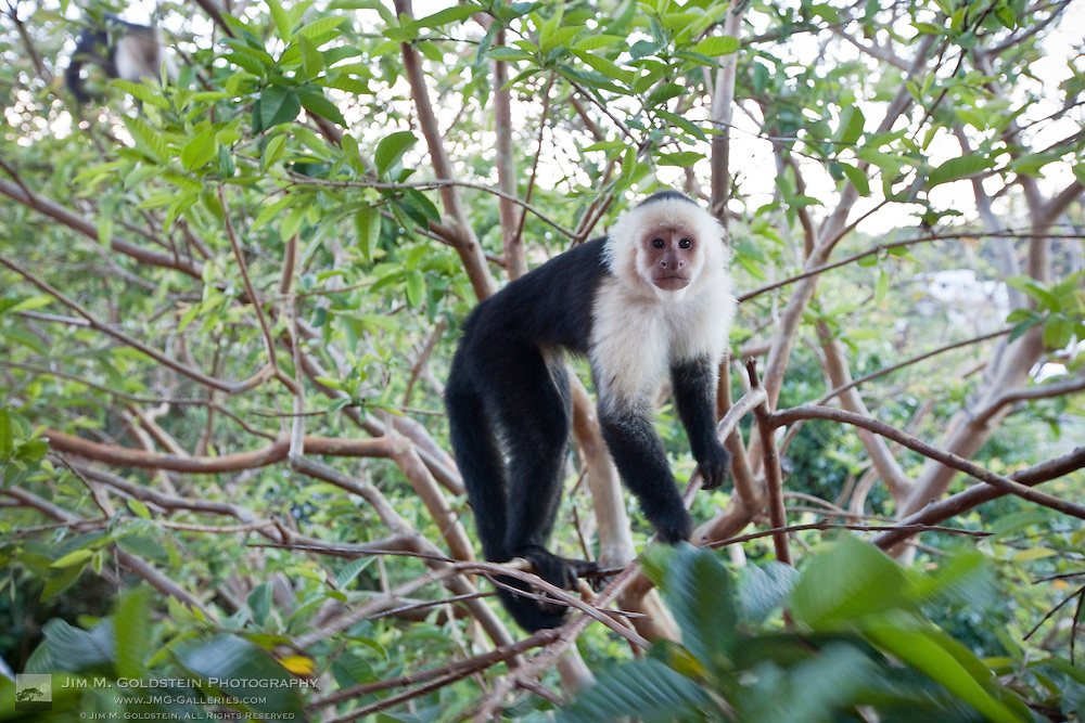 A wild White-headed Capuchin monkey (Cebus capucinus)  standing in a tree making eye contact - Monteverde, Costa Rica