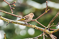 This attractive little member of the finch family was photographed against a backdrop of coniferous trees and melting snow just south of Renton, Washington.