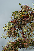 Epiphytes<br /> Cloud Forest<br /> Cayambe Coca Ecological Reserve<br /> Andes<br /> ECUADOR, South America<br /> Bromeliad family