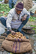 INDIA, NEW DELHI:  Vendor in the outdoor vegetable market in New Delhi prepares his jerusalem artichokes for sale.
