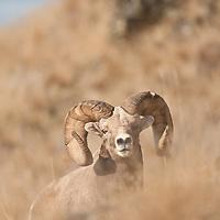 trophy bighorn sheep ram wild rocky mountain big horn sheep