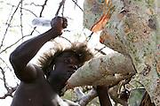 Africa, Tanzania, Lake Eyasi, Hadza men harvesting honey from the hallow in a baobab tree Small tribe of hunter gatherers AKA Hadzabe Tribe