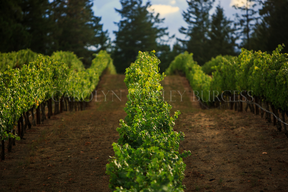 mountaintop vineyard rows