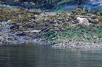 Kermode or Spirit Bear, Ursus americanus kermodei near Butedale on Princess Royal Island in British Columbia, Canada.