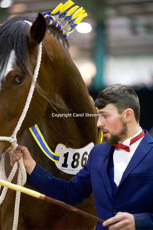 Mr S Leedham's BODAFON GIFT  f 2011  (No.186)<br /> Sire  Acle Gambler<br /> Dam  Bodafon Lucinda Rose<br /> Breeder  Mr D Williams &amp; Mrs A Williams
