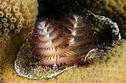 Christmas Tree Worm (Spirobranchus giganteus) on Star Coral (Montastraea cavernosa)<br /> BONAIRE, Netherlands Antilles, Caribbean<br /> HABITAT &amp; DISTRIBUTION: Shallow &amp; mid-range coral reefs, walls and rocky areas. <br /> Florida, Bahamas &amp; Caribbean.Great