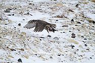 00817-00604 Gyrfalcon (Falco rusticolus) dark phase with prey Churchill Wildlife Management Area Churchill MB