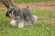 Miniature Schnauzer competing in conformation event at Hickories Circuit Dog Show in Apalachin, NY.