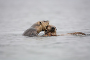 Mother otter nipping pup