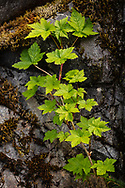 Red Currant (Ribes triste) plant growing along rock edge in Chugach National Forest in Southcentral Alaska. Spring. Afternoon.