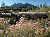 Wild Grasses Growing from Lava Scarred Landscape, Sunset Crater Volcano National Monument, Arizona