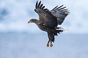 I came over this white tailed eagle today when I was out to capture some landscapes | Jeg kom over denne havørnen idag når jeg var ute for å knipse landskapsbilder.