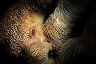 Fötus eines Weißkehl-Faultiers, Bradypus tridactylus, ca. 14 cm lang, kurz vor der Geburt, Tragzeit 6-7 Monate, Hubrecht Sammlung, Museum für Naturkunde Berlin