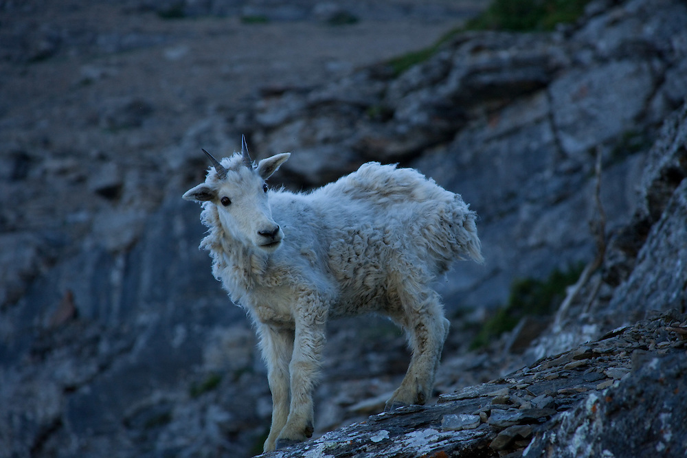 A mountain goat yearling stops before leaping off a ledge to escape hikers in Glacier National Park.