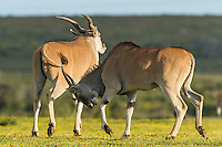 Eland sparring with one eland horning the other in the rump, De Hoop Nature Reserve, Western Cape, South Africa