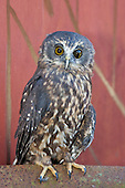 Morepork Pictures - Photos