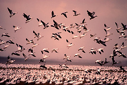 Stock photo of a flock of snow geese (Chen caerulescens) taking off from the water