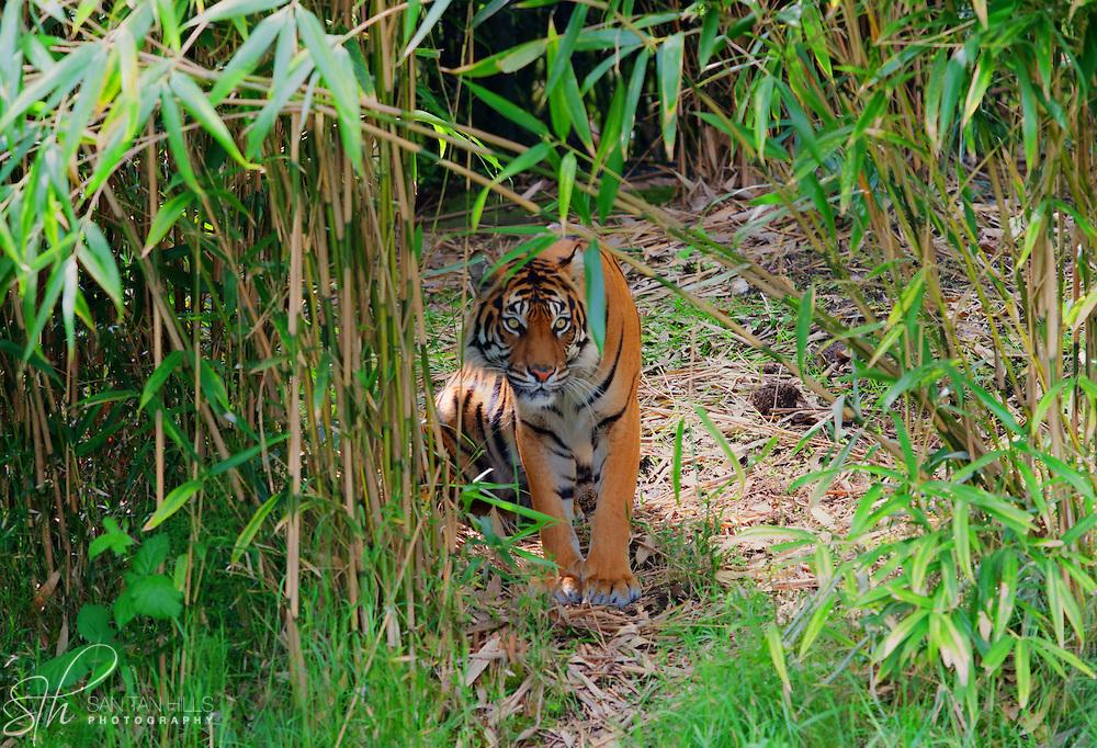 Tiger - Point Defiance Zoo - Tacoma, AZ