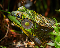 Kermit the Frog near the pond. Image taken with a Nikon D850 camera and 100-500 mm f/5.6 VR lens (ISO 640, 500 mm, f/5.6. 1/1000 sec).