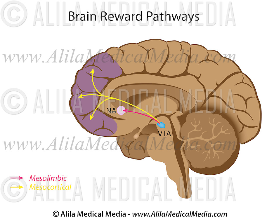 Major Brain Reward Pathways Alila Medical Images