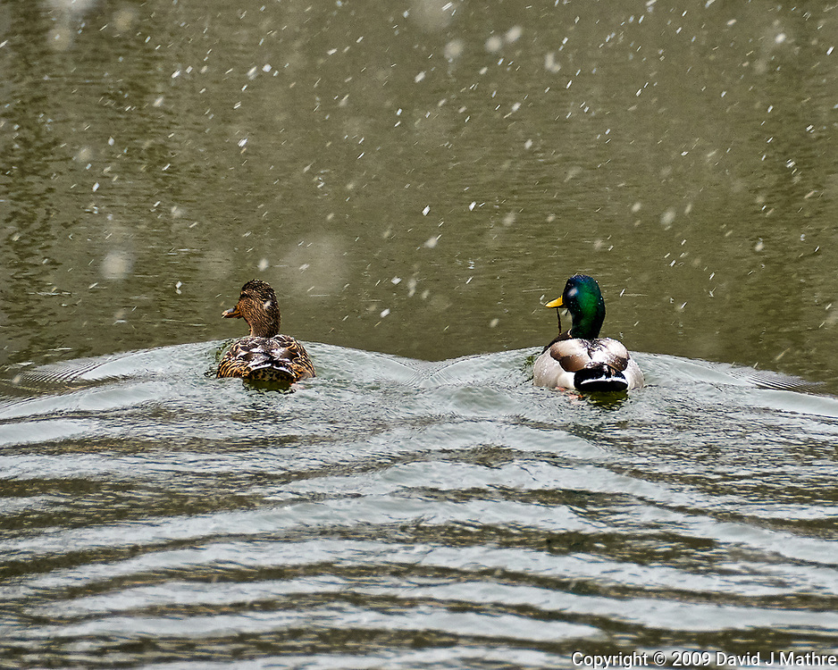 Pair of Mallard ducks swimming in a pond on a snowy day. Sourland Mountain Preserve in New Jersey. Image taken with a Nikon D300 camera and 18-200 mm VR lens (ISO 400, 200 mm, f/5.6, 1/200 sec).