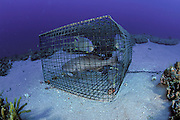 An illegal fish traps holds several  Blue Angelfish , Holacanthus bermudensis, and a Gag Grouper, Mycteroperca microlepis, offshore Juno Beach, Florida, United States