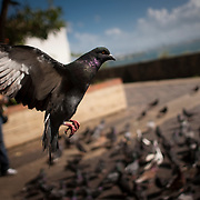 A pigeon takes flight. Home to hundreds of pigeons, Parque de las Palomas (Pigeon's Park), is located near the Paseo de la Princesa in Old San Juan, Puerto Rico, and is a popular destination for tourists and locals alike.