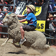A young boy rides on the back of a sheep during the kids sheep ride competition at the Wanaka Rodeo. Wanaka, South Island, New Zealand. 2nd January 2012