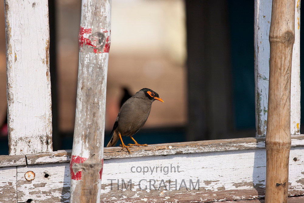 Indian Myna bird, Acridotheres tristis, perched in window overlooking  the Ghats in city of Varanasi, India