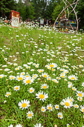Wild daisies blossom in a field in the Northwoods village of Boulder Junction, Wisconsin.