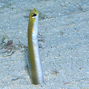 Yellow Gargen Eel build burrows in sand, extend head and upper body when feeding, in Florida; picture taken Blue Heron Bridge, Palm Beach, FL.