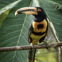Pteroglossus torquatus, Ecuador